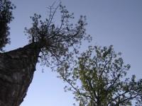 lipova-copac