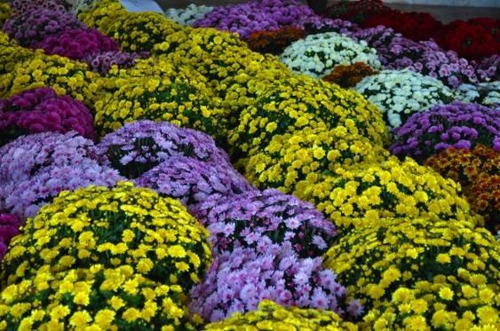 expo crizantema 3