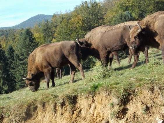 Imagine recenta cu zimbrii de la Armenis_WWF