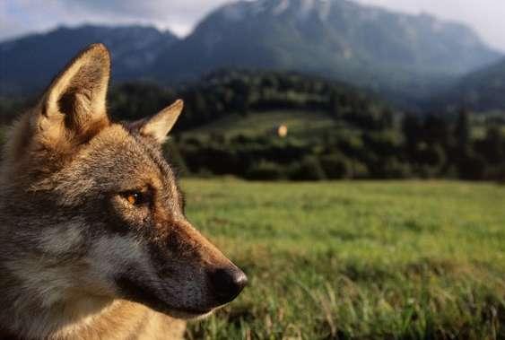 Lupul (Canis lupus). Copyright foto Staffan Widstrand,WWF