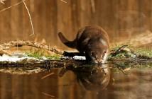 Vidra (European otter). Copyright foto R.Isotti, A.Cambone - Homo Ambiens, WWF-Canon