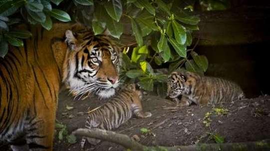 Sumatran Tiger and cubs at Zoo (© Alex Walsh _ WWF)