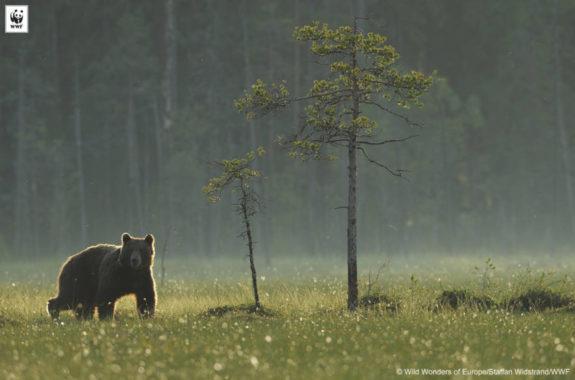 Eurasian brown bear (Ursus arctos) Kuhmo, Finland, July 2008