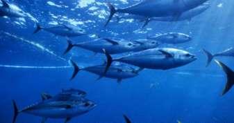 Yellow fin tuna (Thunnus albacares) shoal caught 275ft purse seiner fishing nets, Pacific ocean, Mexico.