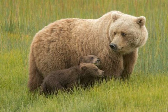 Brown bear (Ursus arctos) with cub at Lake Clark, Alaska, United States
